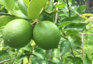 citrons verts martinique