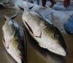 saumon caraïbe saumon-pays rainbow runner
